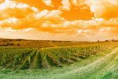 Incrível vinhedo — Fotografia Stock