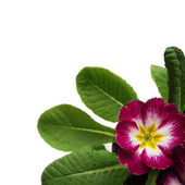 Spring  Primrose — Stock Photo
