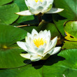 Water lily pond in Austria — Stock Photo #48955945