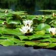 Water lily pond in Austria — Stock Photo #48955969