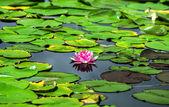 Lagoa de nenúfar em Áustria — Fotografia Stock