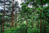 Beautiful pine-tree forest — Stock Photo