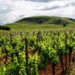 Vivid colors of vineyards — Stock Photo #48998099