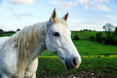 Bílý kůň v poli — Stock fotografie