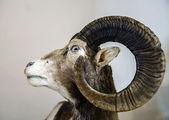 Stuffed wild goat head — Stok fotoğraf