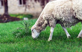Farm animals. Depasturing sheeps. — Stockfoto