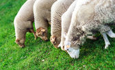 Farm animals. Depasturing sheeps. — Stok fotoğraf