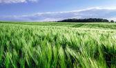 Campo di mais-pane sopra il sole — Foto Stock
