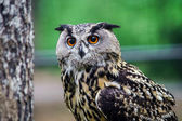 Beautiful owl in a forest — Stock Photo