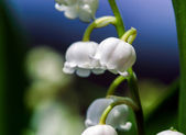 Beautiful muguet on the sun — Stock Photo