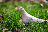 White pigeon on green grass — Stock Photo