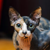Rear sphinx cat portrait — Stock Photo