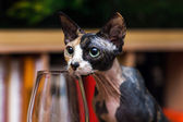 Sphinx cat trying wine — Stock Photo