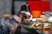 Sphinx cat eating chicken — Stock Photo