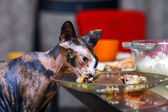 Sphinx cat eating chicken — Stock Photo