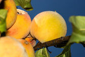 Ripe peaches on tree branches — Stock Photo
