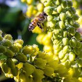 蜜蜂的黄色的花朵上 — 图库照片