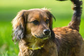 Young brown dog on green grass — Stock Photo