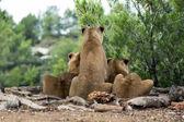 Beautiful lions in safari park — Stock Photo
