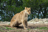 Beautiful lion in safari park — Stock Photo