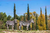 Two zebra in safary park of Sigean — Stock Photo