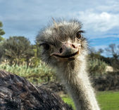 Head of ostrich in zoo — Stock Photo