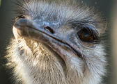 Head of ostrich in zoo — Stok fotoğraf