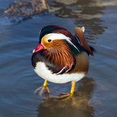 Colorful mandarin duck on water — Stock Photo