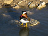Colorful mandarin duck on water — Photo