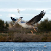 White pelican on the lake — Stok fotoğraf