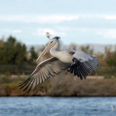 White pelican on the lake — Stock Photo