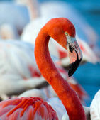 Pink flamingo on the lake — Stock Photo