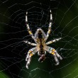 Big spider in its web — Stock Photo