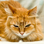 Red cat with big flaps looks like a tiger — Stock Photo