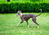Italian Greyhound playing in countryside park — Stock Photo