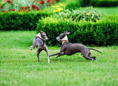 Italian Greyhound playing in countryside park — Stok fotoğraf