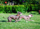 Italian Greyhound playing in countryside park — ストック写真