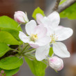 Apple blossoms in spring on white background. Soft Focus — Stock Photo #48811585