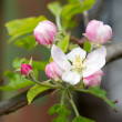 Apple blossoms in spring on white background. Soft Focus — Stock Photo #48811615