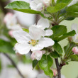 Apple blossoms in spring on white background. Soft Focus — Stock Photo #48811627