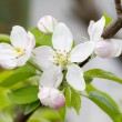 Apple blossoms in spring on white background. Soft Focus — Stock Photo #48811629