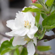 Apple blossoms in spring on white background. Soft Focus — Stock Photo #48811645