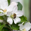 Apple blossoms in spring on white background. Soft Focus — Stock Photo #48811647