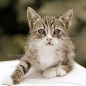 Close-up portrait of tabby kitten - black and white. Shallow dep — Stock Photo