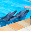 Fragment of the human hand feeding dolphins in a pool — Stock Photo #51572547