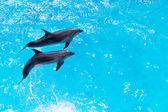 Dos delfines nadan en la piscina — Foto de Stock