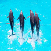 Dolphins jump out of the clear blue water of the pool closeup  — Stock Photo