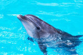Dolphins swim in the pool close-up  — Stock Photo