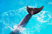 Large tail fins large mammal dolphin dive in the sea surface — Stock Photo
