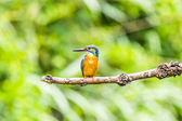 Kingfisher — Stock Photo